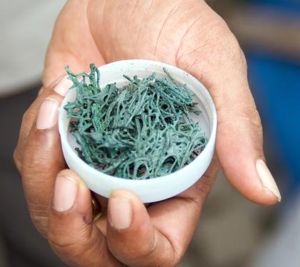 spiruline une algue aux origines de la terre