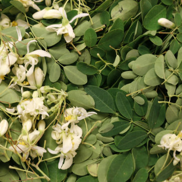 Le Moringa, une alternative à la spiruline
